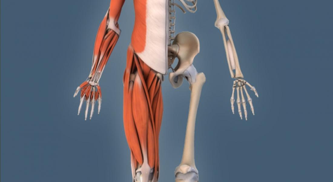 Excepcional Muscular Interactivo Festooning - Anatomía de Las ...